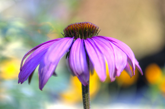 Echinacea for Herpes