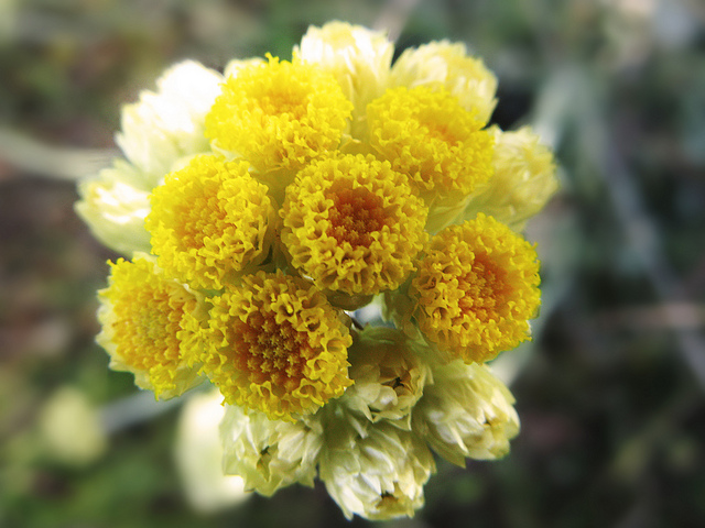 Helichrysum Essential Oil for Varicose Veins
