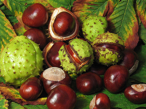 Horse Chestnut for Varicose Veins