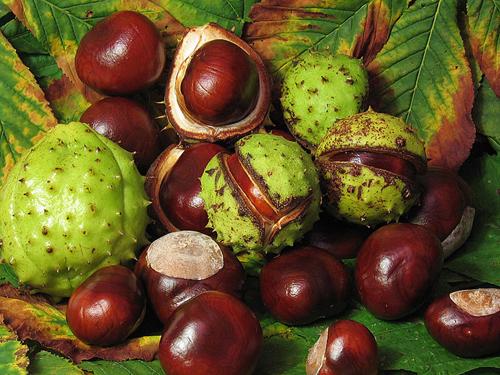 Horse Chestnut for Varicose Veins