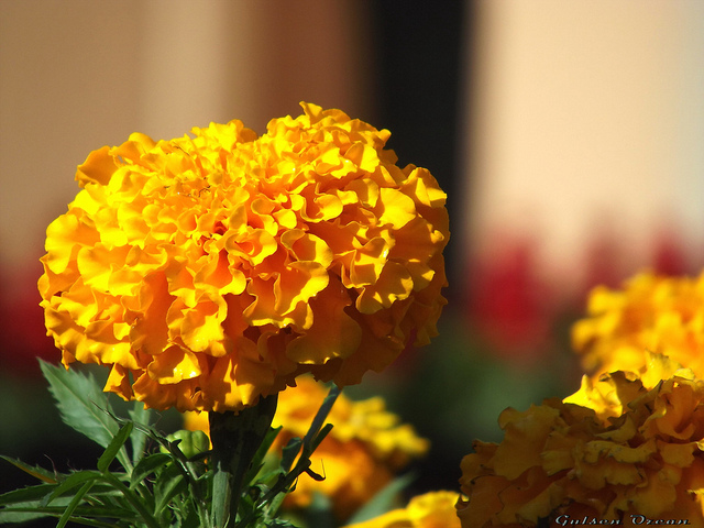 Marigold for Varicose Veins