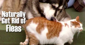 Naturally Prevent and Get Rid of Fleas on Dogs & Cats