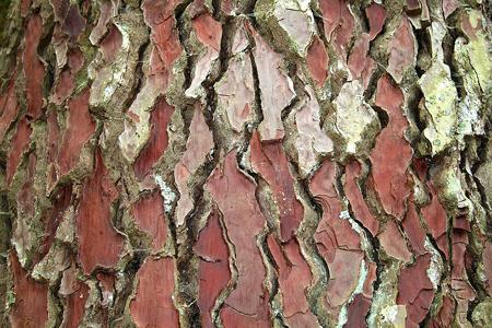 Pine Tree Bark for Varicose Veins