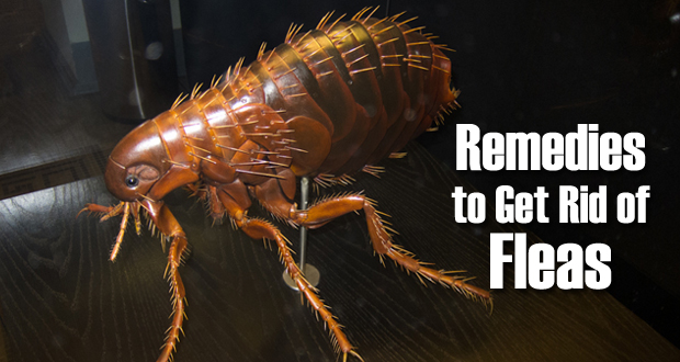 Remedies to Get Rid of Fleas
