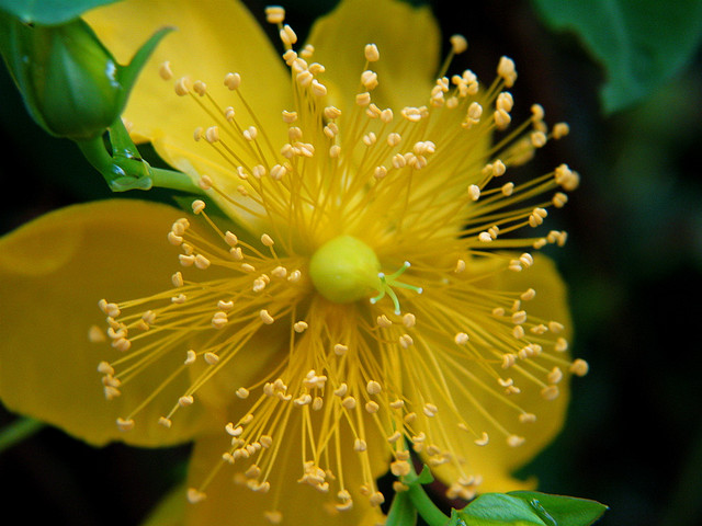 St. John's Wort Oil for Herpes